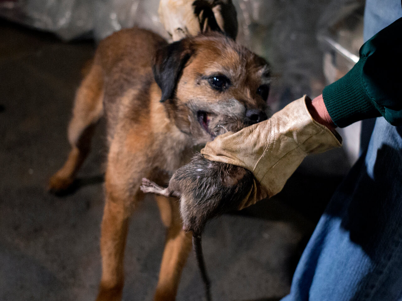 Susan Friedenberg of New York takes a rat from Tanner, her Border Terrier, that caught the rodent as a group of dog owners gathered in lower Manhattan to let their various breeds hunt rats in New York Friday, April 26, 2013. (AP Photo/Craig Ruttle)